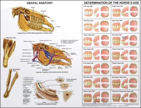Dental Anatomy & Aging Chart: Albert\'s Equine Dental Supply, Inc.